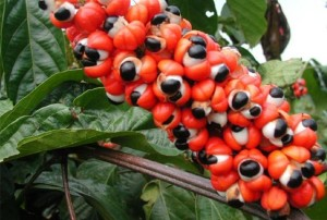 Guarana-Fruit